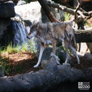 Mexican Gray Wolf Walking 3