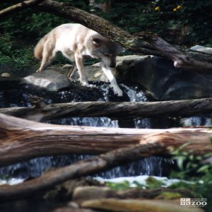 Mexican Gray Wolf Crossing Over To Tree Limb