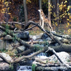 Mexican Gray Wolf Standing Guard