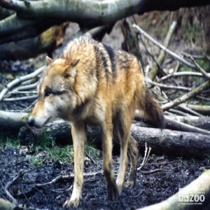 Mexican Gray Wolf Approaching