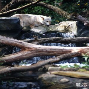 Mexican Gray Wolf Crossing Over Falls