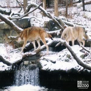 Mexican Gray Wolves Crossing Falls in Winter