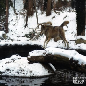 Mexican Gray Wolf Leaping Onto Rock