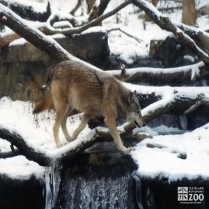 Mexican Gray Wolf Crossing Over Falls 2