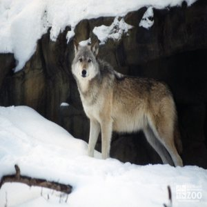 Mexican Gray Wolf In Snow 2