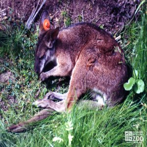 Parma Wallaby Resting In Grass