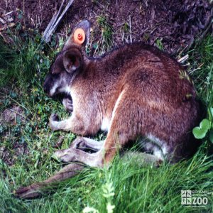 Parma Wallaby Eating Grass