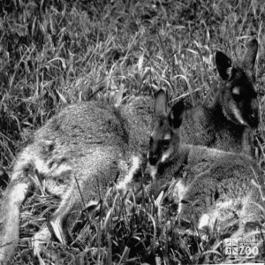Bennett's Wallaby Black and White 1987 With Joey