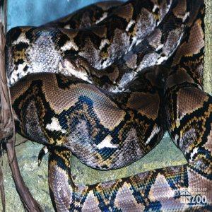Reticulated Python 1