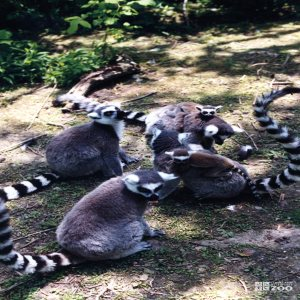 Ring-Tailed Lemurs in a Group