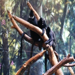 Francois Langurs in Tree