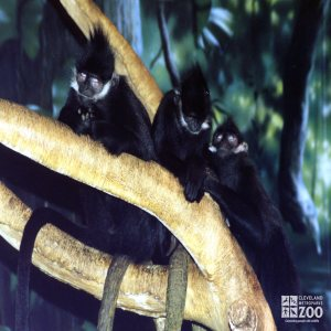 Francois Langurs in Tree2