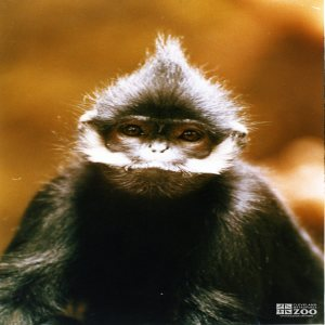 Francois Langur Close-up