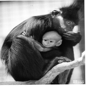 Francois Langur with Baby2