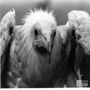 Egyptian Vulture Black and White In Flight