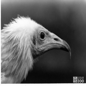 Egyptian Vulture Black and White Profile