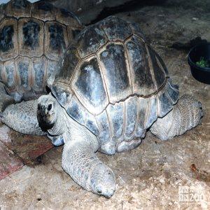 Aldabra Tortoise In Profile