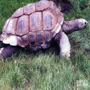 Aldabra Tortoise In Profile Side View