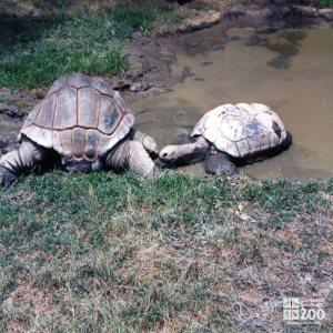 Aldabra Tortoises Kissing 2