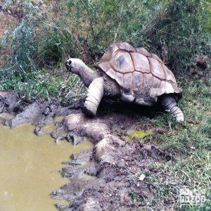 Aldabra Tortoise Walking