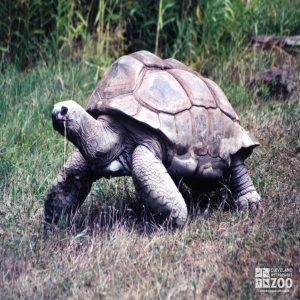 Aldabra Tortoise Walking In Grass
