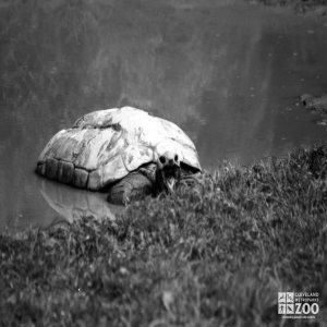 Aldabra Tortoise Black and White In Water Mouth Open