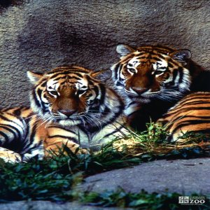 Amur (Siberian) Tigers Resting In Grass