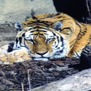 Amur (Siberian) Tiger Looks Forward