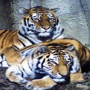 Amur (Siberian) Tigers Looks Forward