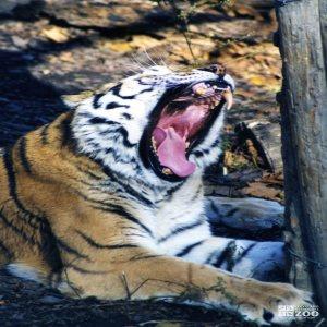 Amur (Siberian) Tiger Yawning