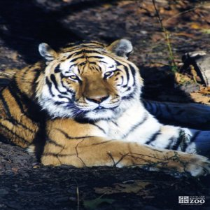 Amur (Siberian) Tiger Looking Forward