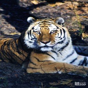 Amur (Siberian) Tiger Looking Forward 2