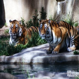 Amur (Siberian) Tigers At Water