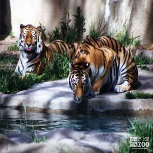 Amur (Siberian) Tigers At Water 2