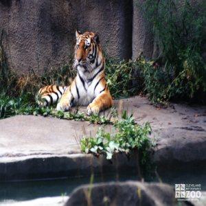 Amur (Siberian) Tiger Alert To Something