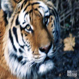 Amur (Siberian) Tiger Face Up Close 2
