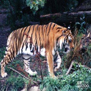 Amur (Siberian) Tiger Walking In Grass