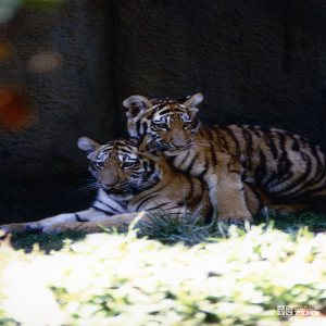 Amur (Siberian) Tigers At Play