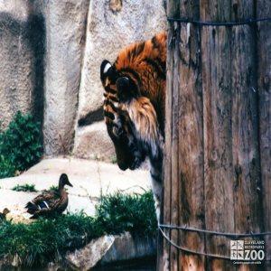 Amur (Siberian) Tiger Meets A Duck