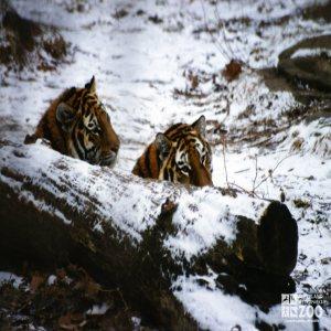 Amur (Siberian) Tigers Peeking Over Log In Snow