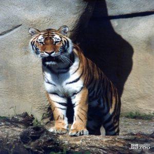 Amur (Siberian) Tiger Standing On Rock