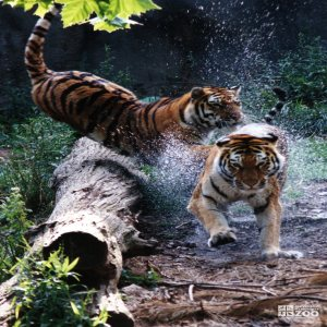 Amur (Siberian) Tigers Playing Chase