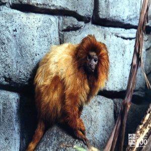 Golden Lion Tamarin Profile