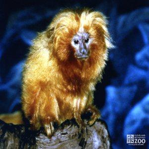 Golden Lion Tamarin Looking Forward