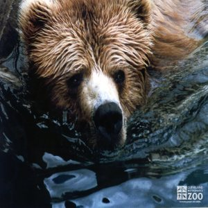 Bear, Grizzly Close-up