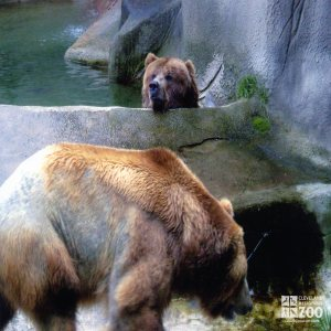 Bears, Grizzly