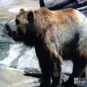 Bear, Grizzly3