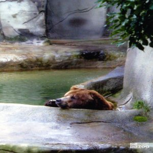 Bear, Grizzly in water2
