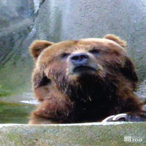 Bear, Grizzly Close-up3
