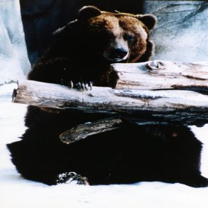 Bear, Grizzly7